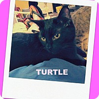 Domestic Shorthair Cat for adoption in Valley Park, Missouri - Turtle
