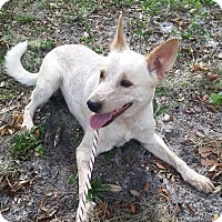 Adopt A Pet :: Dingo - Gainesville, FL