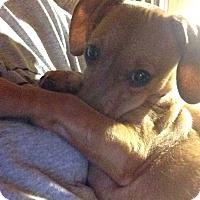 Adopt A Pet :: Bandit - Knoxville, TN