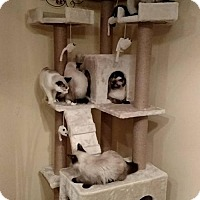Adopt A Pet :: SIAMESE - WOODSFIELD, OH