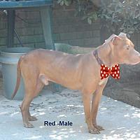 Adopt A Pet :: Red - Pensacola, FL