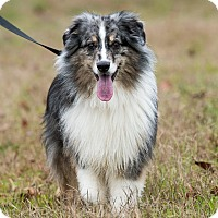 Australian Shepherd Mix Dog for adoption in Dacula, Georgia - Cody