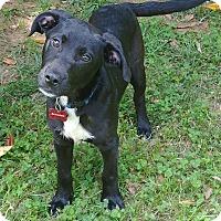 Adopt A Pet :: The Walking Dead: Hershel - Charlotte, NC