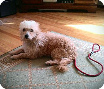 Norwich Terrier/Poodle (Standard) Mix Dog for adoption in Providence, Rhode Island - Mango