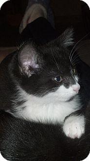 Domestic Shorthair Kitten for adoption in Sterling Hgts, Michigan - Bon Bon (bottle baby)