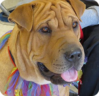 Shar Pei Mix Dog for adoption in Scottsdale, Arizona - Tiny