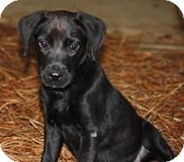 Labrador Retriever Puppy for adoption in Madison, Wisconsin - Callie