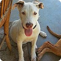 Adopt A Pet :: Dixie Belle - Norwalk, CA