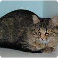 Domestic Longhair Cat for adoption in Marietta, Georgia - Bellona
