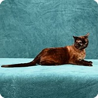 Siamese Cat for adoption in Cary, North Carolina - Clay