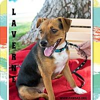 Adopt A Pet :: LAVERNE - Higley, AZ