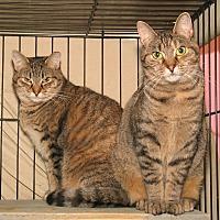 Domestic Shorthair Cat for adoption in Milford, Massachusetts - Teena