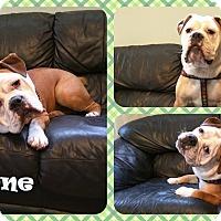 Adopt A Pet :: T-bone - DOVER, OH
