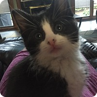 Adopt A Pet :: Kismet (bottle fed) - Sterling Hgts, MI
