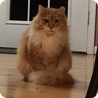Domestic Longhair Cat for adoption in Great Mills, Maryland - Precious