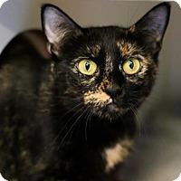 Domestic Shorthair Cat for adoption in Austin, Texas - Raichu