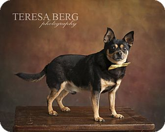 Chihuahua Mix Dog for adoption in McKinney, Texas - Trucker