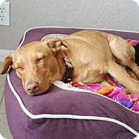 Labrador Retriever Mix Dog for adoption in Von Ormy, Texas - Sweet Pea