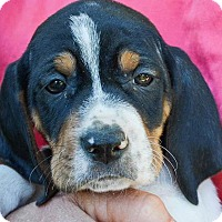 Adopt A Pet :: Prohibition Dame - Lakeport, CA