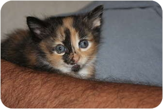 American Shorthair Kitten for adoption in Barnegat, New Jersey - Kittens