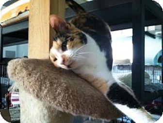Domestic Shorthair Cat for adoption in Mission Viejo, California - Confetti