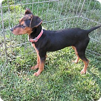 Adopt A Pet :: Alfie - West Warwick, RI