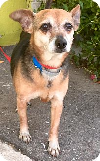 Beagle/Chihuahua Mix Dog for adoption in Phoenix, Arizona - BJ