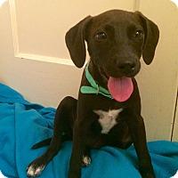 Adopt A Pet :: Pippy - Groton, MA