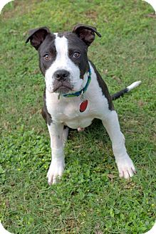 Pit Bull Terrier/American Staffordshire Terrier Mix Puppy for adoption in College Station, Texas - Beckham