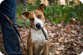 Boxer Mix Dog for adoption in Clarkesville, Georgia - Robin Hood
