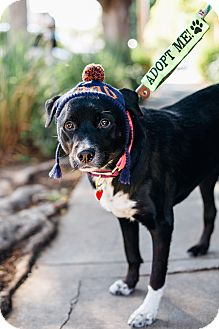Labrador Retriever/Border Collie Mix Dog for adoption in Los Angeles, California - Rosie