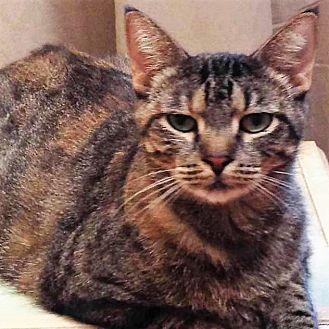 Domestic Shorthair Cat for adoption in Athens, Georgia - Tabitha
