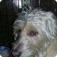 Adopt A Pet :: Scout - Fullerton, CA