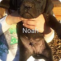 Adopt A Pet :: N Litter - Chichester, NH