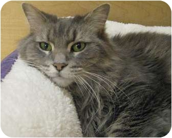 Domestic Mediumhair Cat for adoption in McHenry, Illinois - Misty