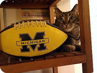 American Shorthair Cat for adoption in Brooklyn, New York - Logan