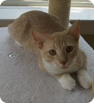 Domestic Shorthair Cat for adoption in Richmond, Virginia - Bud