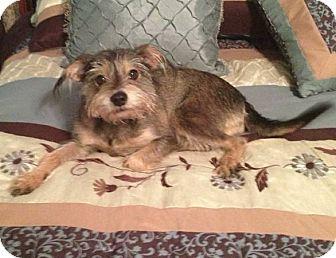 Yorkie, Yorkshire Terrier/Schnauzer (Miniature) Mix Dog for adoption in Flower Mound, Texas - Abby
