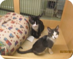 Domestic Shorthair Kitten for adoption in Phoenix, Arizona - Noisey