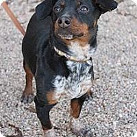 Adopt A Pet :: Addie - Fountain, CO