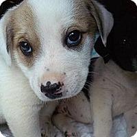 Adopt A Pet :: Selena - Largo, FL