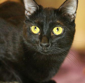 Domestic Shorthair Cat for adoption in Canoga Park, California - Zelda