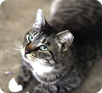 Maine Coon Cat for adoption in Denton, Texas - Spurs