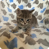 Domestic Shorthair Kitten for adoption in Union, Kentucky - Buddy