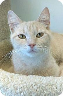 Domestic Shorthair Cat for adoption in Austintown, Ohio - Sammi