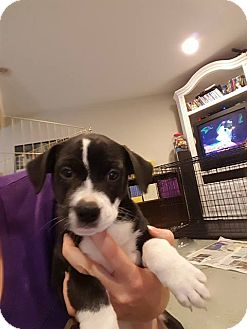 Labrador Retriever Mix Puppy for adoption in WESTMINSTER, Maryland - Larry