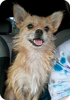 Yorkie, Yorkshire Terrier/Border Terrier Mix Dog for adoption in Nanuet, New York - Chewbacca