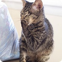 Domestic Shorthair Kitten for adoption in Nashville, Tennessee - Sparrow *Special Needs*