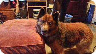 Australian Cattle Dog/Sheltie, Shetland Sheepdog Mix Dog for adoption in Lewistown, Pennsylvania - Second Chance
