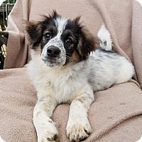 Adopt A Pet :: Isabella - Trenton, NJ